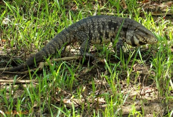 10 iguana